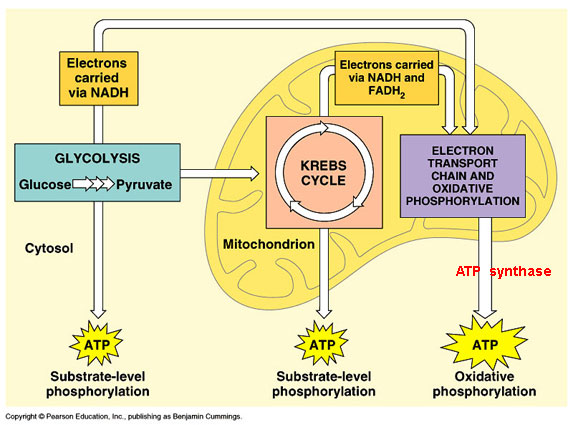 Cellular Respiration Diagram Worksheet Delibertad – Photosynthesis Diagram Worksheet Answers